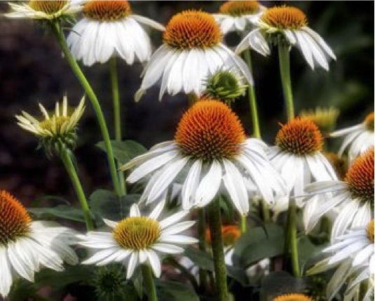 Coneflowers, Laurie Schaerer, Photography, $65 (Online Only)