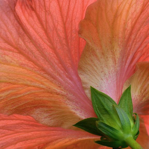 Hibiscus, Mike Carmichael, Photograph - Giclee Print (Hahnemuhle Photo Rag), $200