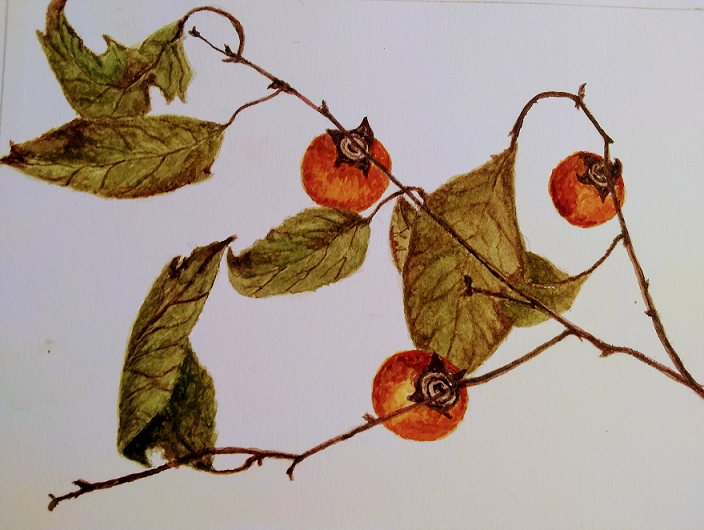 Persimmons, Juli Day, Watercolor on paper, $125